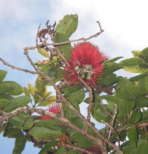 The Lehua Blossom on an Ohia Tree